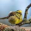 Yellowhammer 22-Apr-18  M_002 (gomo.images) Tags: 2018 angus bird country forfar nature scotland years yellowhammer
