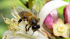 Abeille au travail (bernard.bonifassi) Tags: abeille miel insecte bb088 06 alpesmaritimes counteadenissa 2018 mai canonsx60 macro