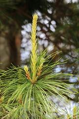 Pine Finger (Mïk) Tags: tree flower green pine newgrowth