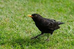 blackbird (sure2talk) Tags: blackbird juvenile nikond7000 nikkor70300mmf4556afsifedvr