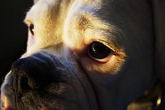 Dark eyes (Bl.Mtns.Grandma) Tags: boxer dog eyes ddogchal cof029mari cof29patr