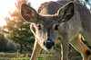 Curious (Jenna.Lynn.Photography) Tags: deer fawn curious macro nature wildlife wildlifephotography dof eos portrait sun goldenhour may spring trees eye canon light outside summer landscape wild