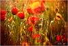 Spring Poppies (mad_ruth) Tags: painterly poppy gold landscape lesvos sunset spring flowers greece pentax k1 textures jaijohnson topazimpression