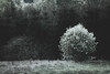 the flowered tree (ylemort) Tags: nature tree winter forest landscape snow outdoors season ruralscene blackandwhite scenics nonurbanscene woodland nopeople branch white frost beautyinnature coldtemperature backgrounds everypixel spring belgique belgium hautesfagnes