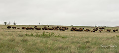 Bison herd on the Great Plains
