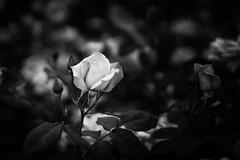 Rosa 'Pink Parkfait' (marysaesteban) Tags: 2018 7dwf bn blackandwhite blancoynegro españa madrid may parquedeloeste rosa rosaledademadrid rose spain mayo primavera spring bw