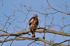 Red-tailed Hawk (Buteo jamaicensis) (ritchie.zelk) Tags: hawk red tailed bird