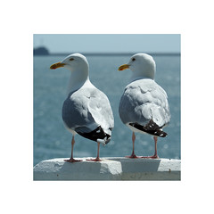 two of a kind (chrisinplymouth) Tags: gull seagull hoe plymouth devon england uk cw69x pair couple xg square squareformat cw69sq inexplore