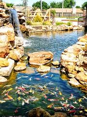 To Many Koi... (lillypotpie) Tags: koi fishu pond waterfall plants water