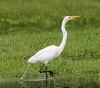 05-20-18-0018862 (Lake Worth) Tags: animal animals bird birds birdwatcher everglades southflorida feathers florida nature outdoor outdoors waterbirds wetlands wildlife wings
