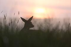 Sonnengruß (IIIfbIII) Tags: mv mecklenburg müritznationalpark müritz reh sonnenaufgang golden sun wildlife wildlifephoto naturephotography fantasticnature wiese nature natur deer wild canon silhouettes sonnenlicht sonne morgenlicht heaven light sunlight coth