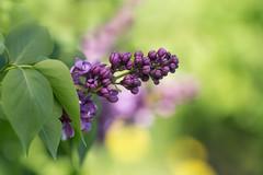 Lilacs :-) (tsandra996) Tags: flower lilac green puplr flora tree garden nature