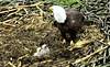 Decorah North Mom & newborn chicks (heights.18145) Tags: decorah eagles birds wildlife snow ccncby