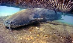 Wels / Catfish @ Fühlinger See (Craebby) Tags: tauchen diving wels catfish fühlingersee köln cologne