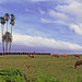 Las palmeras de la ctra. a Mareo * Washingtonia robusta y Phoenix canariensis