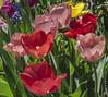 TULIPANI - APRILE 2018 (MY SECRET WINDOW) Tags: narcissus tulip flower fiori fiore tulipano narciso giardino garden rosa rose macro pianta allaperto fioritura pastello calma petalo roseto roses red rossa plant foglie foglia leaf profondità di campo acceso