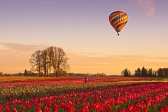 Balloon Tulip Sunrise 7284 A (jim.choate59) Tags: hotairballoon tulip field woodenshoetulipfarm farm rural spring jchoate on1pics sunrise d610
