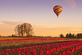 Balloon Tulip Sunrise 7284 A