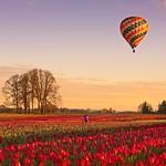 Balloon Tulip Sunrise 7284 A thumbnail