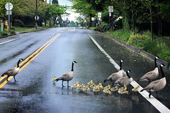 Geese crossing (thomasgorman1) Tags: wildlife birds geese chicks goose crossing nikon or oregon street streetphotos crosswalk curb grass sidewalk trees signs road lines