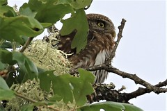 Glaucidium gnoma Northern Pygmy-Owl (David A. Hofmann) Tags: bird sonomacounty california pineflatroad glaucidiumgnoma northernpygmyowl