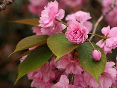 Cherry Blossom (Nick_Fisher) Tags: cherry blossom nickfisher sakura tree flower