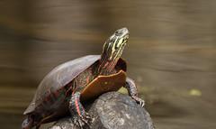 Painted Turtle (explored 5/4/18) (vischerferry) Tags: animal turtle log paintedturtle chrysemyspicta reptile newyorkstate eriecanal wildlife