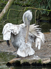 Kroeskoppelikaan - Pelecanus crispus - Dalmatian pelican (Cajaflez) Tags: blijdorp pelicanuscrispus pelikaan kroeskoppelikaan dalmatianpelican coth5 ngc