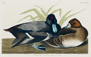 Scaup Duck from Birds of America (1827) by John James Audubon (1785 - 1851), etched by Robert Havell (1793 - 1878). The original Birds of America is the most expensive printed book in the world and a truly awe-inspiring classic.