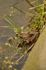Frog (historygradguy (jobhunting)) Tags: easton ny newyork upstate washingtoncounty animal frog amphibian