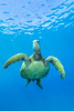 turtle2Mar29-18 (divindk) Tags: cheloniamydas hawaii hawaiianislands honu malaramp maui places underwater diverdoug endangeredspecies greenseaturtle marine ocean reef sea seaturtle turtle underwaterphotography