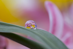 Nevena Uzurov - Single (Nevena Uzurov) Tags: leaf drop droplet water refraction light pastel bokeh hyacinth nevenauzurov serbia