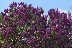 Lilacs (Ineke Klaassen) Tags: lilacs lilac sering seringen syringa flower flora flowers bloemen seringenstruik floral flor sony sonyimages sonya6000 sonyalpha sonyalpha6000 sonyilce6000 ilce sonyphotography photography natuur nature mirrorless purple paars