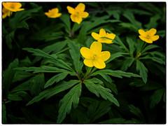 OMD Gulveis (Krogen) Tags: norge norway norwegen akershus romerike ullensaker jessheim krogen blomster flowers olympusomd