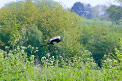 Flying off: magpie, Barley Field (Dave_A_2007) Tags: corvidae picapica bird crow magpie nature wildlife wolverhampton westmidlands england