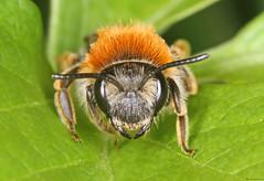 Andrena haemorrhoa (timz501) Tags: bee andrenahaemorrhoa jersey