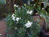 Murraya ovatifoliolata 'Min-a-min' (tanetahi) Tags: murraya rutaceae compact miniature smallleaves minamin miniaturemockorange tanetahi
