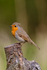 721A3715 (Chris Clicks Photography) Tags: bird birdphotography birdwatching birds canon canon7dmkii canonef100400f4556lisiiusm canon7dmarkii merebrow orange perch photography portrait robin tree wildlife canon100400usmii canon7dmark2