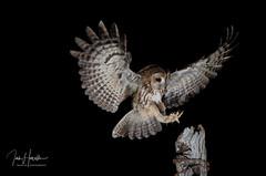Tawny Owl (Ian howells wildlife photography) Tags: owl tawnyowl nature naturephotography wildbird wild wildlifephotography wildlife wales ianhowellswildlifephotography ianhowells