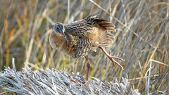 Ridgway's Rail (Bob Gunderson) Tags: alamedacounty arrowheadmarsh birds california eastbay northerncalifornia rails ralluslongirostris ridgwaysrail