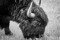 L59A0254-2.jpg (kendra kpk) Tags: 2018 buffalo spring regrowth dakotawindsphotocom dakotawindsphotography us blackhills americanbison southdakota clouds custercounty blackhillsnationalforest blackwhite plainsbison custer burnedtrees green bw may red custerstatepark