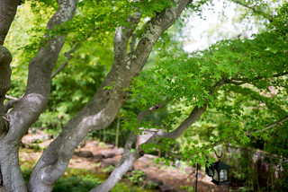 Japanese Maple Tree in Hakone Garden, Saratoga, Santa Clara, California, USA