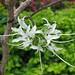 叉分羊蹄甲 Bauhinia divaricata   [日本大阪鮮花競放館 Osaka Sakuya Konohana Kan, Japan]