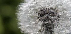 Prince or Pauper, Beggar Man or Thing (SydPix) Tags: dandelion flower seeds parachutes weed plant taraxacum white gossamer feather macro sydyoung sydpix