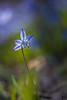 ''La dame en bleu!'' (pascaleforest) Tags: macro fleur bois macrophotographie nikon nature sigma wild wildlide printemps spring québec canada flower wood bleu blue vert green light lumière