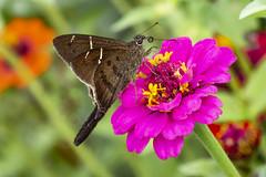 Teleus Longtail on Dwarf Zinnia (PriscillaBurcher) Tags: urbanusteleus teleuslongtail saltarinascoludas hesperiidae pyrginae mariposasdecolombia butterfliesfromcolombia l1570766