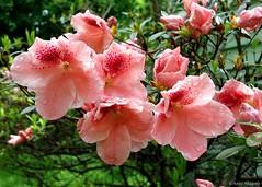 Azaleas (Anne Ahearne) Tags: flower plant bush azalea pink nature closeup macro rain droplets water wet flowers spring springtime