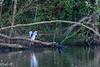 _DSC6648 (Inapapel) Tags: 2018 d7200 txingudi biodiversidad birds birdhunting birdphotografy birdwatching flickr fauna animals aves ave hegaztiak nycticoraxnycticorax