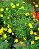 Floral Explosion (J A West) Tags: flowers yellow green disney epcot flowererandgardenfestival nikon d7000