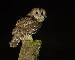 "Tawny Owl (coopsphotomad) Tags: owl ""tawny owl"" wild bird animal wildlife native night dark woods woodland canon post perch light"
